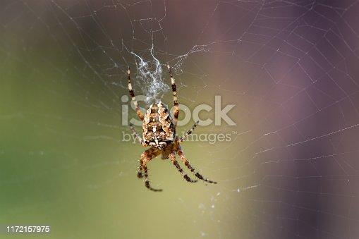 Cross Spider or European garden spider (Araneus diadematus) on its web
