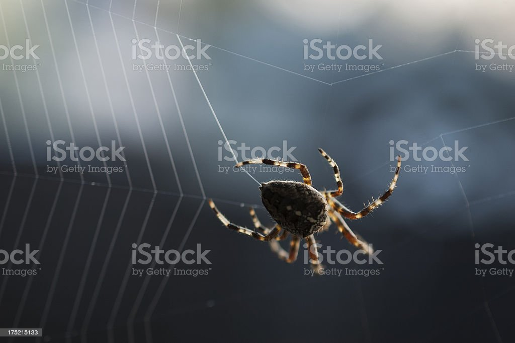 Cross Spider Web Weaving stock photo