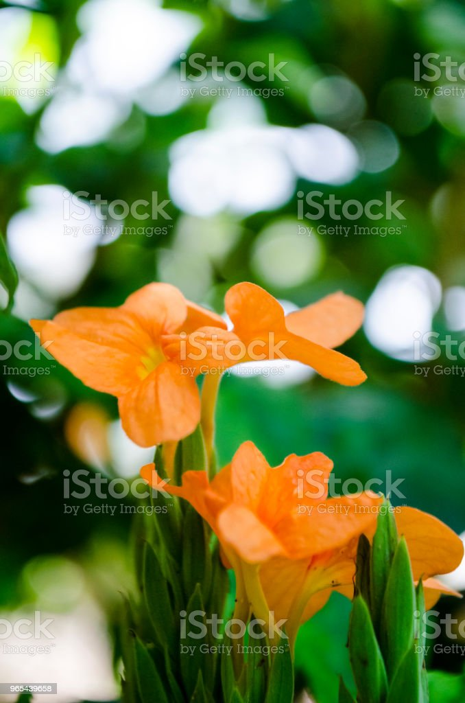 Crossandra infundibuliformis royalty-free stock photo