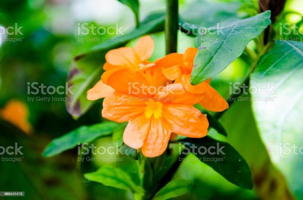 Crossandra infundibuliformis - 免版稅Acanthaceae圖庫照片