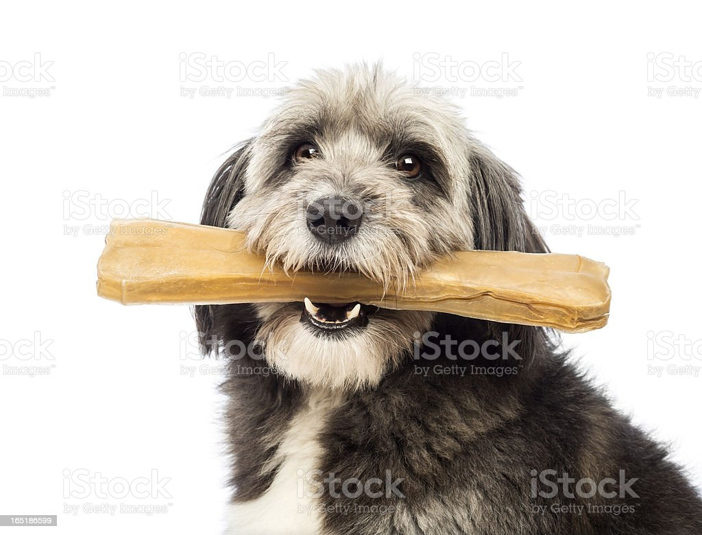 Crossbreed, 4 years old, holding a bone in its mouth royalty-free stock photo