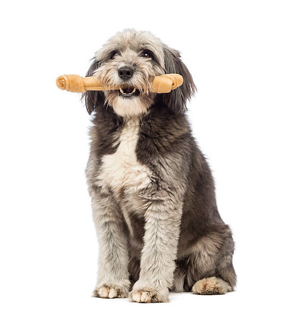 Crossbreed, 4 years old, sitting and holding a bone Crossbreed, 4 years old, sitting and holding a bone in its mouth in front of white background animal mouth stock pictures, royalty-free photos & images