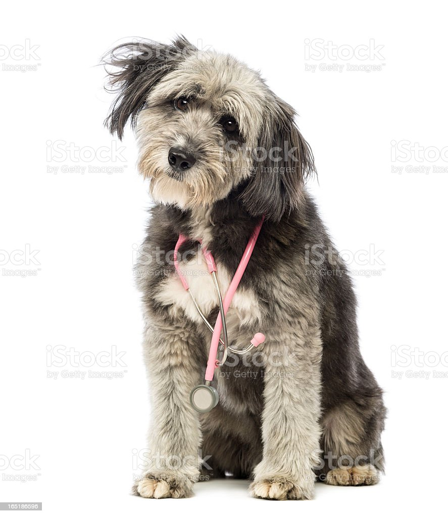 Crossbreed, 4 years old, sitting and wearing a pink stethoscope royalty-free stock photo