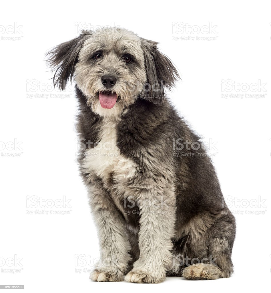 Crossbreed, 4 years old, sitting, panting and looking royalty-free stock photo