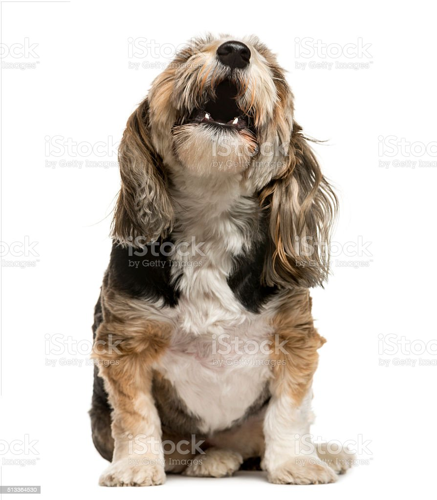 Crossbreed barking in front of white background stock photo