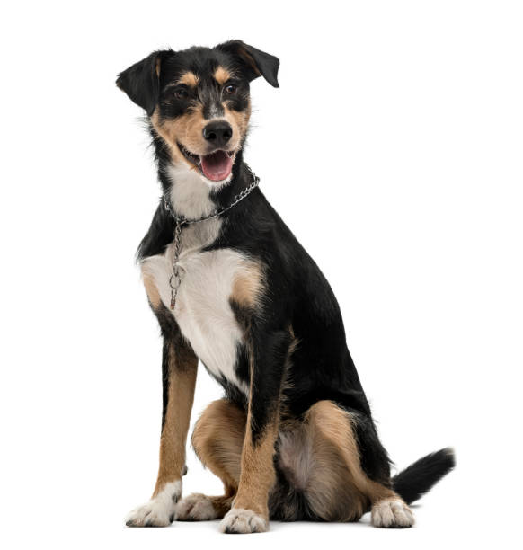 Crossbreed dog isolated on white picture id824175868?b=1&k=6&m=824175868&s=612x612&w=0&h=zdvhxtncmqwdhtb4reuy2ponsttta67tk9dacuuutfy=