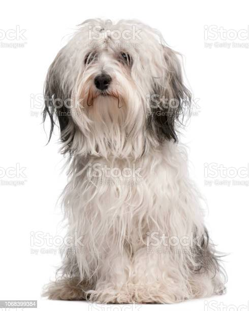 Crossbreed dog sitting in front of white background picture id1068399384?b=1&k=6&m=1068399384&s=612x612&h=zpnhmjolxklcipkabawp5r4yqp57ilbe2 ebgap5tws=