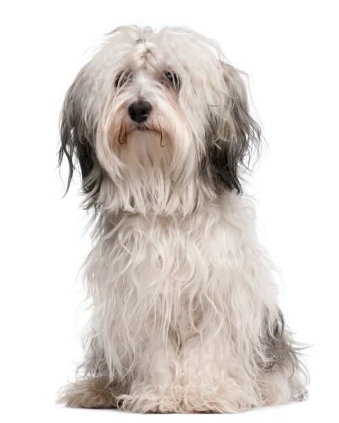 Crossbreed dog sitting in front of white background picture id1068399384?b=1&k=6&m=1068399384&s=612x612&w=0&h=nuvgbanxhhbmxhb7io0auks6xln0a  vrwoojhag0cs=