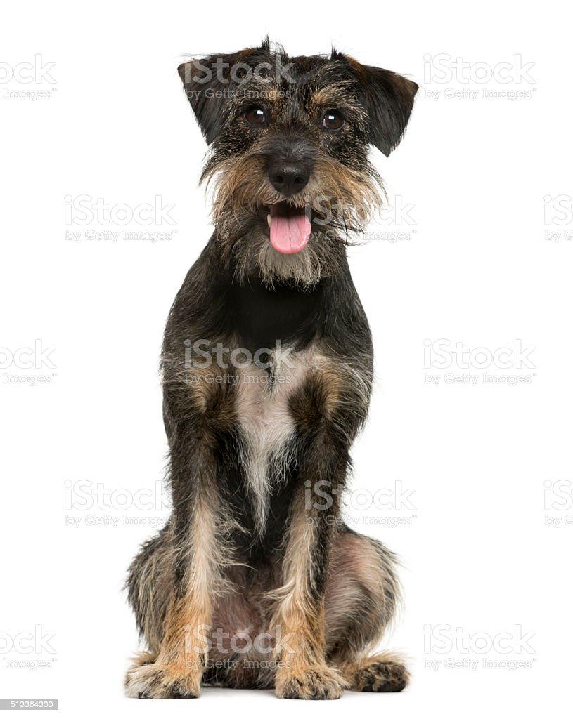 Raza cruzada perro sentado en frente de fondo blanco - foto de stock