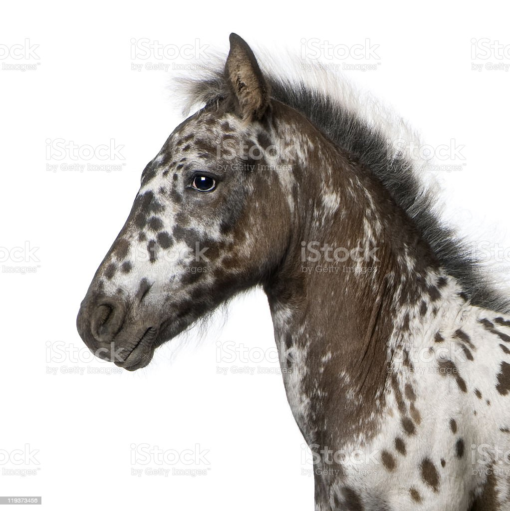 Crossbreed Foal between Appaloosa and Friesian horse, 3 months old. stock photo