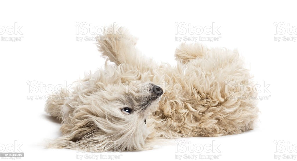 Crossbreed lying and rolling over against white background stock photo