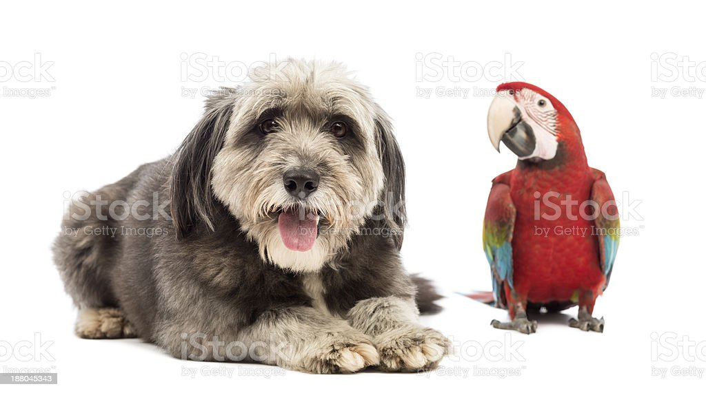 Crossbreed lying next to a Green-winged Macaw royalty-free stock photo