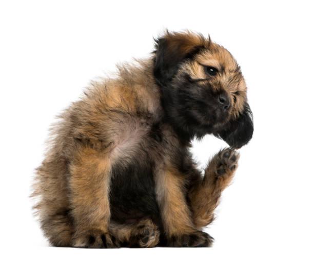 Crossbreed puppy scratching itself picture id1068766136?b=1&k=6&m=1068766136&s=612x612&w=0&h=kegynisdcd93fp0vqkwyoxjwn cklxa1zg0ybmfhic0=