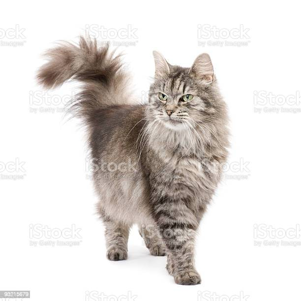 Crossbreed siberian and persian cat picture id93215679?b=1&k=6&m=93215679&s=612x612&h=7vahymbe lrqyfe6r bgk7saztwzcctw9qswwt172gg=
