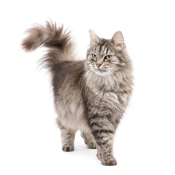Crossbreed siberian and persian cat picture id93215679?b=1&k=6&m=93215679&s=612x612&w=0&h=eertaxaesc2thgm22skmfnsxmy4arf a2rl etuvycm=