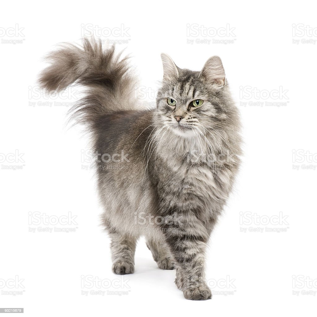 Crossbreed Siberian and persian cat stock photo