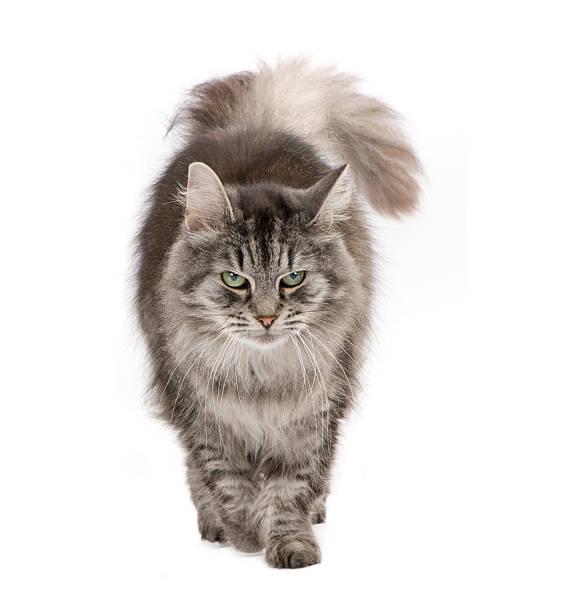 Crossbreed siberian and persian cat picture id93215706?b=1&k=6&m=93215706&s=612x612&w=0&h=0lekol nmdzyitxvjaq vqw f3lftrv0mwubde0l48m=