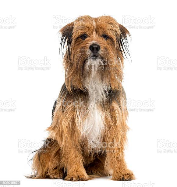 Crossbreed sitting in front of a white background picture id509046672?b=1&k=6&m=509046672&s=612x612&h=7sveclpscwzopjcyb3f1cpjl0wp pallhggelasdvba=