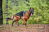 Crosscountry dryland sled dog mushing race. German Shepard sled dog pull a bicycle with dog musher. Autumn competition.
