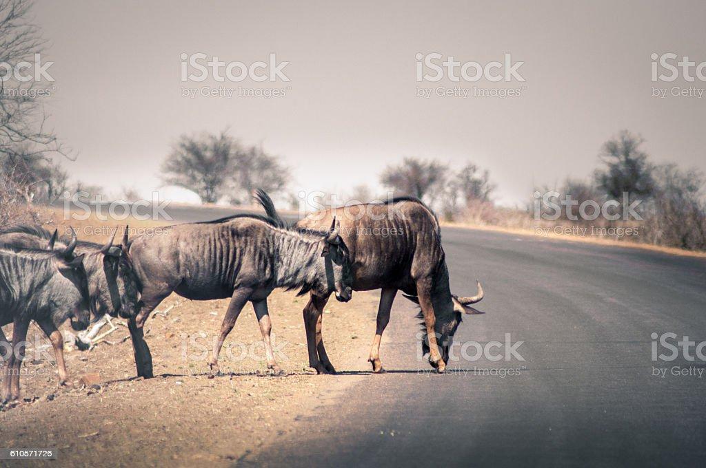 Crossing buffalo stock photo