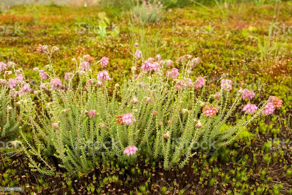 Cross-leaved Heath (Erica tetralix) foto