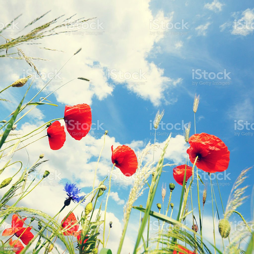 cross-processed image of red corn poppy in a wheat field royalty-free stock photo