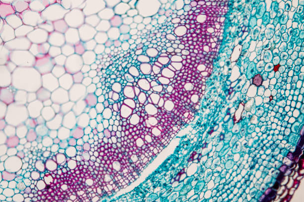 cross-section plant stem under the microscope for classroom education. - microbiology stock pictures, royalty-free photos & images