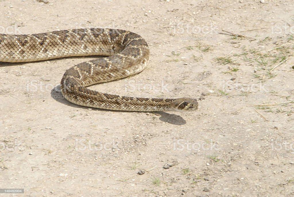 Crotalus atrox-Western Diamondback Rattlesnake stock photo