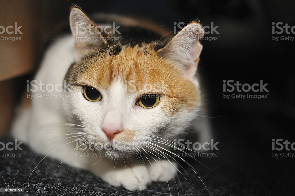 Crouched cat on carpet royalty-free stock photo