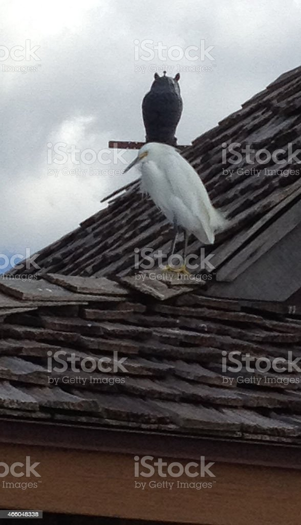 Crouched snowy egret, with metal owl in background stock photo