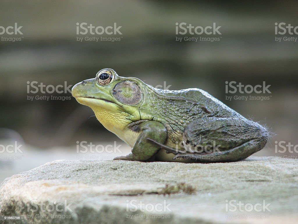 Crouching bull frog, hidden fly royalty-free stock photo