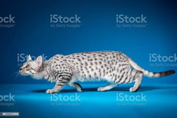 Crouching cat picture id862233886?b=1&k=6&m=862233886&s=612x612&h=qg04afdks6t8mtas9lrepiqaq kgtai7yphtezhawr4=