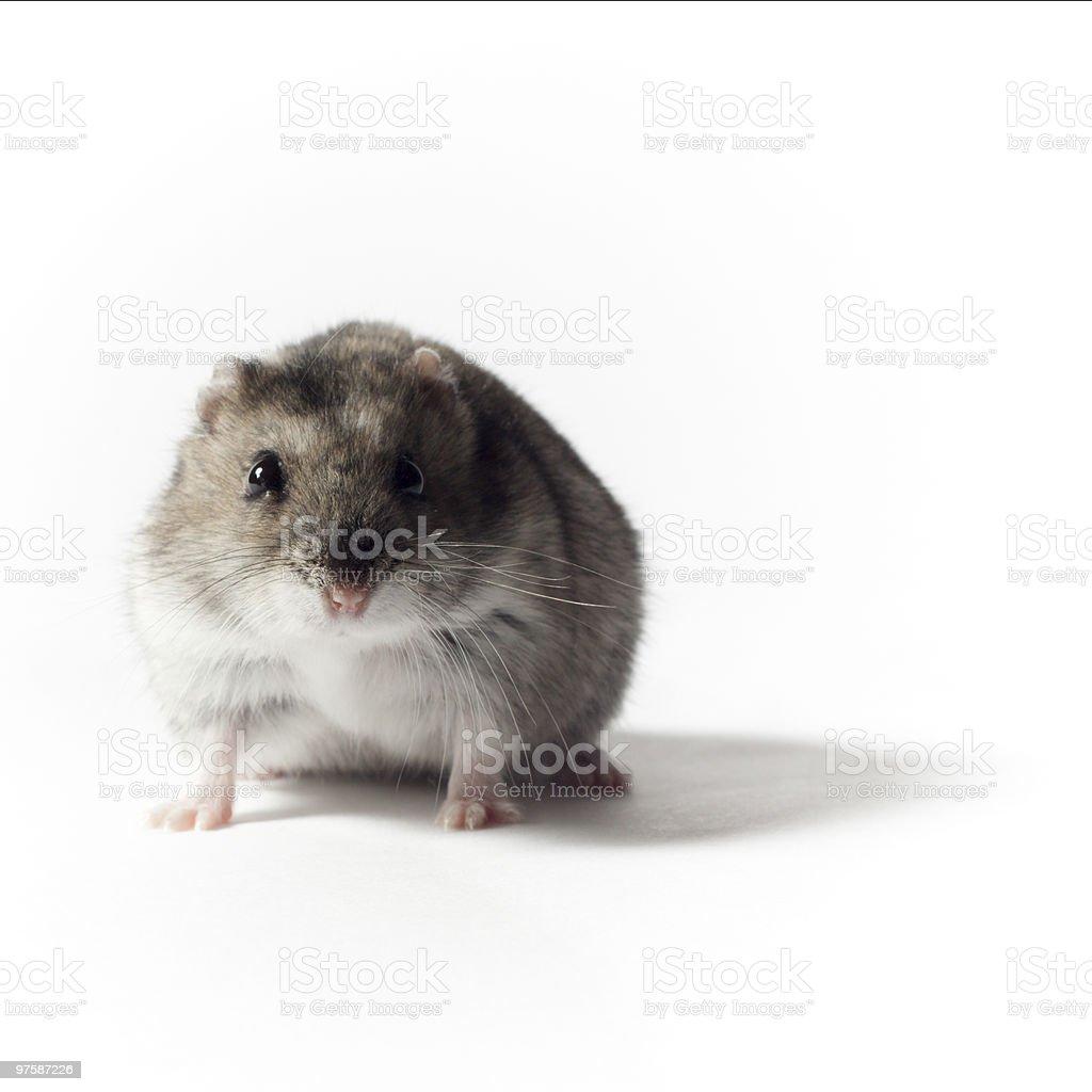 Crouching Hamster, Isolated on White royaltyfri bildbanksbilder