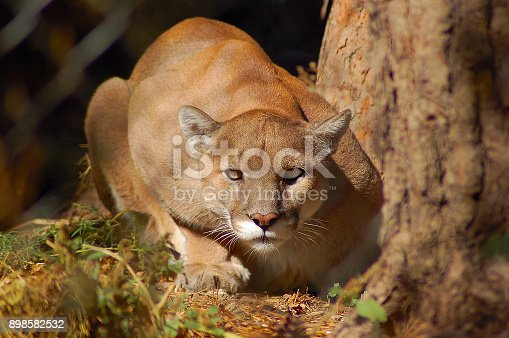 A mountain lion crouches down on the ground in warm afternoon light.