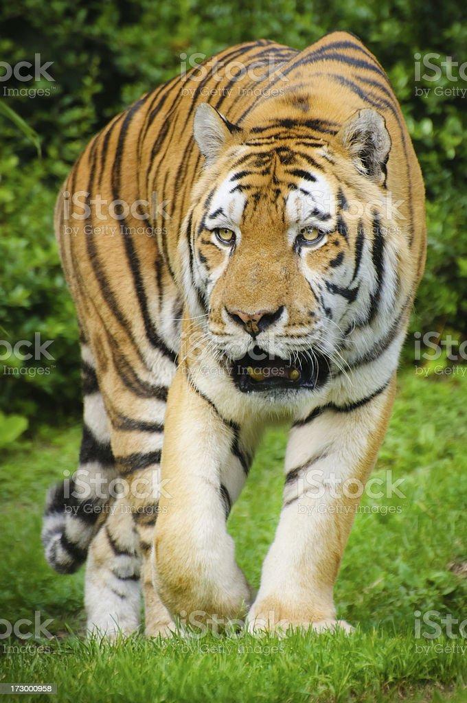 crouching tiger royalty-free stock photo