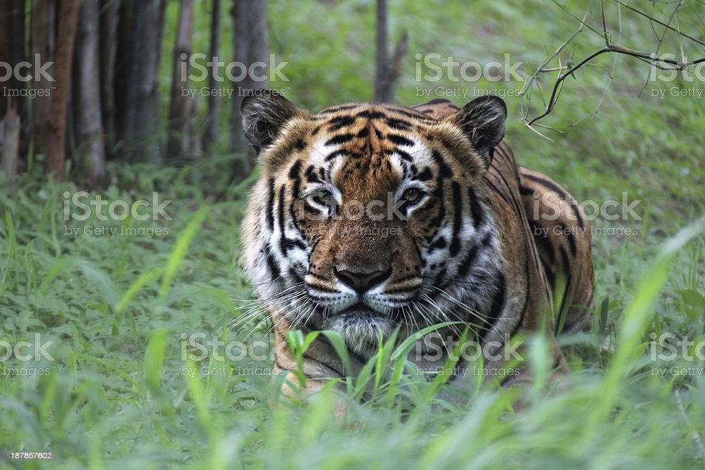 Crouching Tiger stock photo