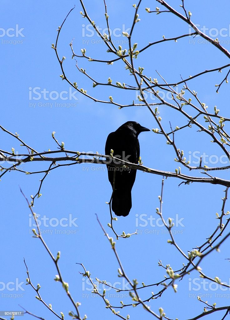 Crow And Tree In Spring royalty-free stock photo