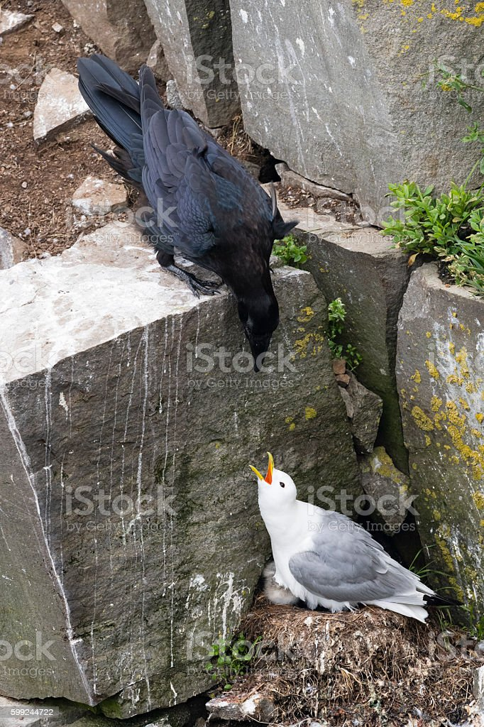 Crow attacking baby bird, american crow, black-legged Kittiwake stock photo