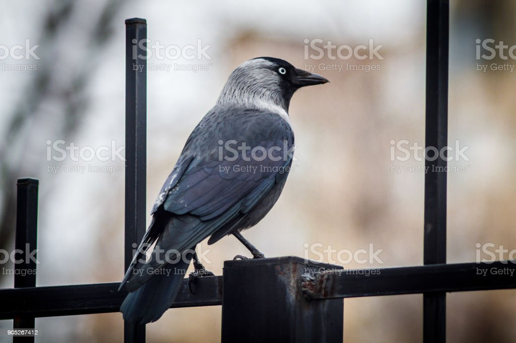 Crow bird in the park on the ground and trees stock photo