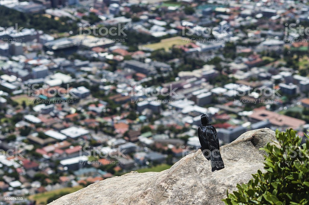 Crow Cape town stock photo