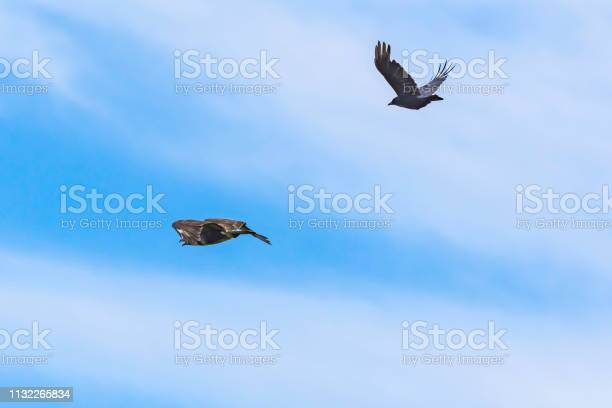 Crow chasing buzzard awayblue sky with clouds in behaviour picture id1132265834?b=1&k=6&m=1132265834&s=612x612&h=cbdjmago65u1mmoq6f4n4wmlzonpsyhqnharhnrboww=