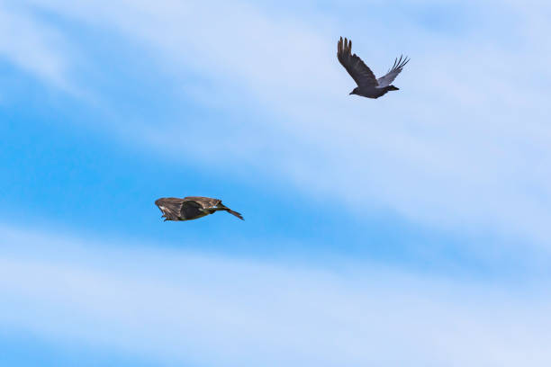 Crow chasing buzzard away.Blue sky with clouds in background.Territorial behaviour. stock photo