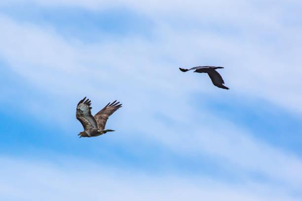 Crow roofdier jagen uit de buurt van het grondgebied. Dieren in het wild optreden. foto