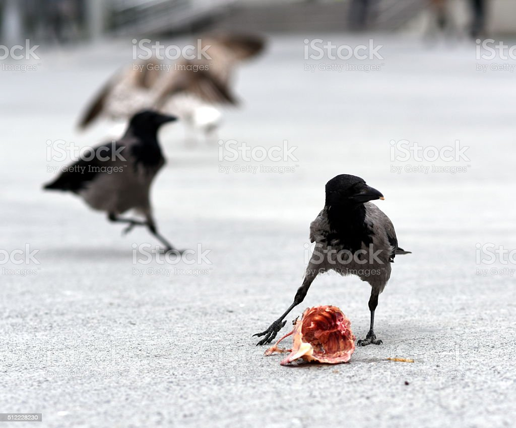 crow eating carrion stock photo