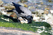 Crow feeding  at the seaside