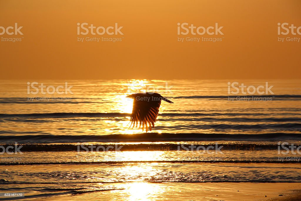 crow fly over the sea at sunset. Silhouette. Reverse light. stock photo