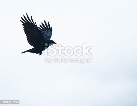 crow flying