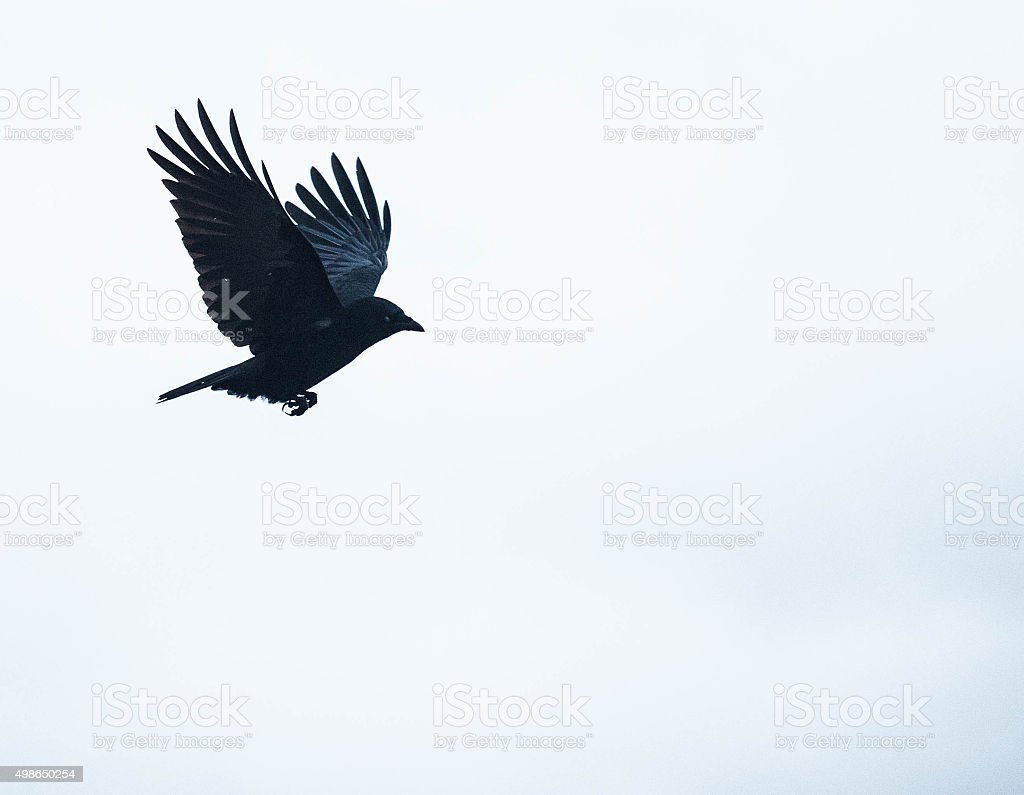 Crow flying stock photo