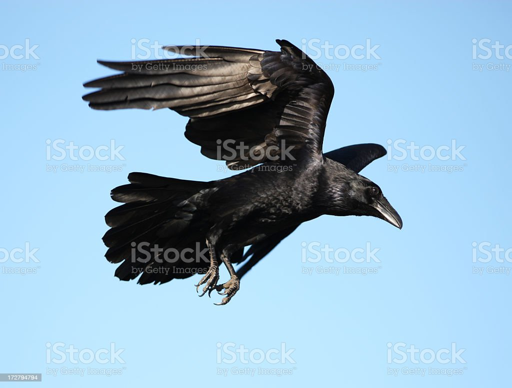 Crow flying with wings expanded stock photo