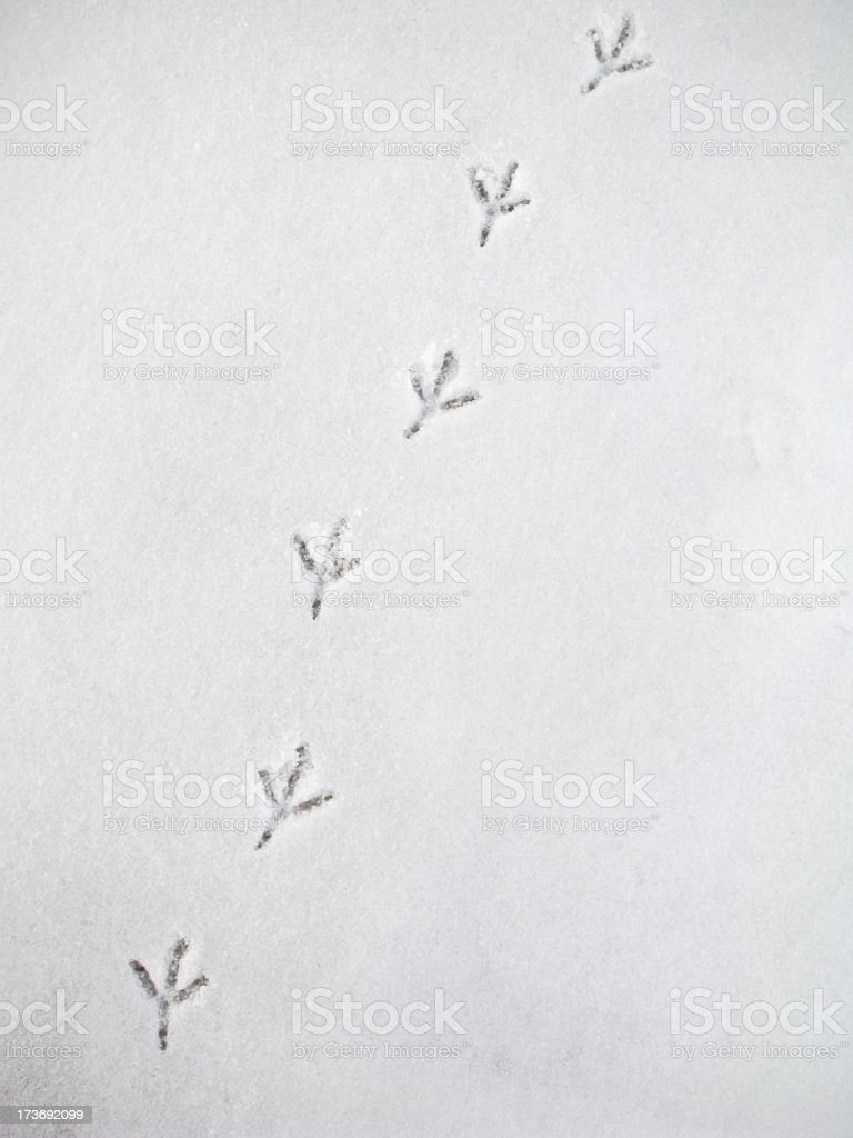 Crow footprints in the snow. stock photo